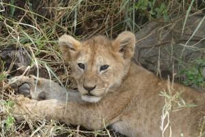 Lions au parc de Manyara, Tanzanie