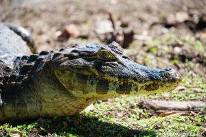 Caiman-Pantanal-300x200