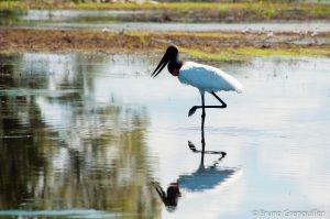 Jabiru-Pantanal-300x199