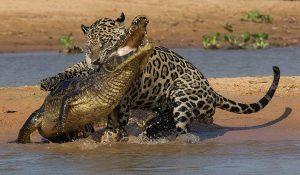 Jaguar-Caiman-Pantanal-300x175