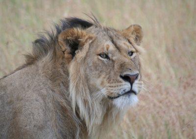 Lion-2-Massai-Mara