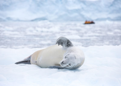 QuarkExpeditions_crabeater_seal_paradise_harbour_acaciajohnson_1