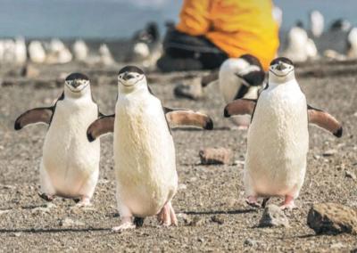 ULTRAMARINE_pingouins