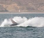 baleines.4