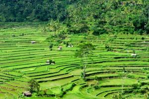 Rizières de Bali...