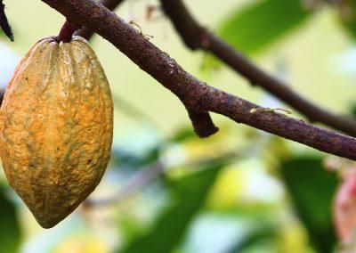 cocoa-1529742_1280