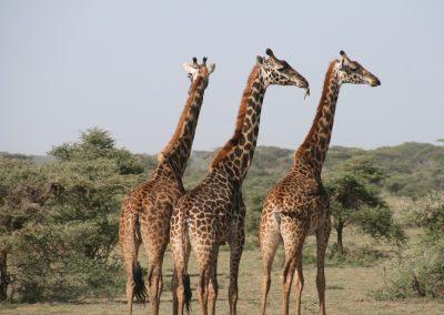 giraffe-1330814_1280