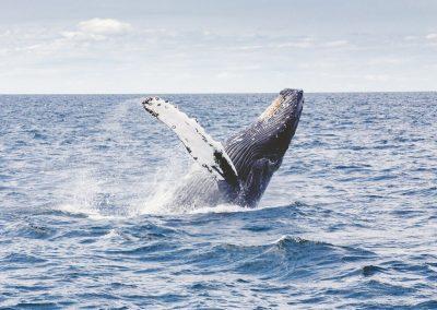humpback-whale-1209297_1280