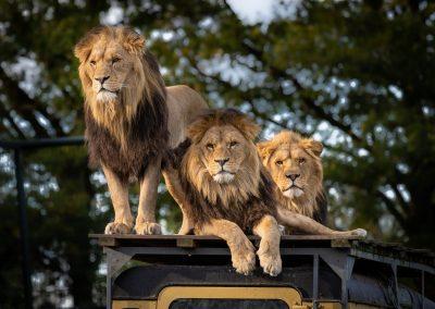 lion-4581841_1280