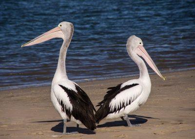 pelicans-446864_1280
